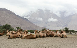 Camels at Nubra valley in Ladakh, India Stock Image