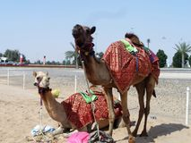 Camels. A pair of camels in the Arab decorative harness. Dubai Stock Image