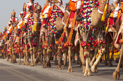 Camels on Parade Stock Photography