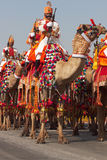 Camels on Parade Royalty Free Stock Image