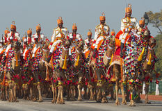 Camels on Parade Royalty Free Stock Photography