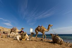 Camels 'parked' on the beach at the Blue Hole, Dahab. Camels 'parked' on the beach at the Blue Hole, a wonderful diving spot in Egypt, on the Red Sea, Sinai Royalty Free Stock Photos
