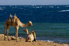 Camels 'parked' on the beach at the Blue Hole, Dahab Stock Image