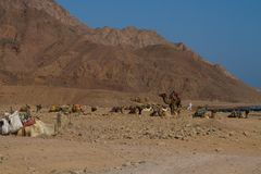 Camels parked on the beach near the Blue Hole, Dahab. Caravan of camels 'parked' on the beach ready to transport tourists to  the Blue Hole, a wonderful diving Stock Photography