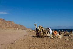 Camels parked on the beach near the Blue Hole, Dahab. Camels 'parked' on the beach ready to transport tourists to  the Blue Hole, a wonderful diving spot near Royalty Free Stock Photo