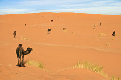 Camels pasturing in the desert. Royalty Free Stock Photo