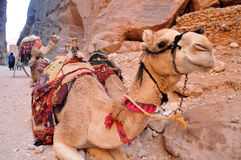 Camels in Petra. Camels are used for transportation and fun in the ancient city of Petra, Jordan Royalty Free Stock Photos