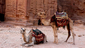 Camels of petra. This is a photo of two camels in petra, used mainly for tourists to ride around this large, ancient city stock photo