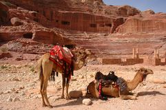 Camels in Petra. Jordan by Roman amphitheater ruins royalty free stock photo