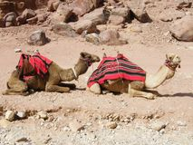 Camels in the Petra Desert Stock Photo