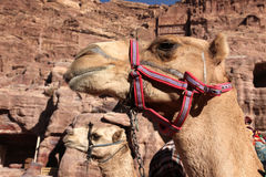 Camels in Petra, Jordan Royalty Free Stock Photos