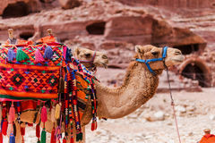 Camels in Petra, Jordan Stock Photos