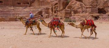 Camels of Petra Jordan. Camels in Petra the lost city in Jordan Stock Photos