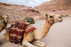 Camels in Petra, Jordan Stock Image