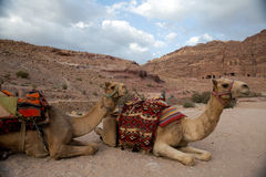 Camels in Petra, Jordan Royalty Free Stock Photos