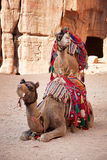 Camels in Petra Royalty Free Stock Image