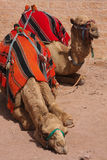 Camels at Petra Stock Photo