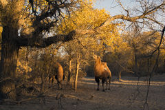 Camels in poplar forest Royalty Free Stock Photo