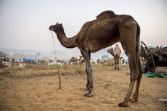 Camels at Pushkar Camel Fair Royalty Free Stock Photography
