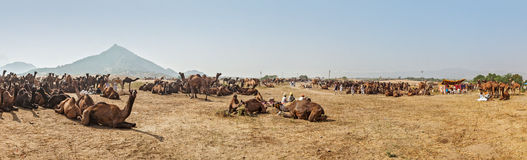 Camels at Pushkar Mela (Pushkar Camel Fair),  India Stock Image