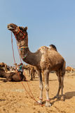 Camels at Pushkar Mela (Pushkar Camel Fair),  India Royalty Free Stock Images
