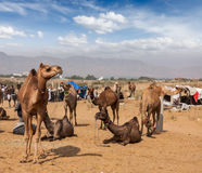 Camels at Pushkar Mela (Pushkar Camel Fair),  India Stock Photography