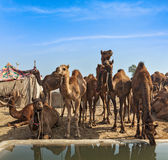 Camels at Pushkar Mela (Pushkar Camel Fair),  India Stock Photo
