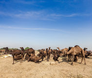 Camels at Pushkar Mela (Pushkar Camel Fair),  India Royalty Free Stock Photos