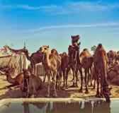 Camels at Pushkar Mela,  Rajasthan, India Stock Image