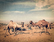 Camels at Pushkar Mela,  Rajasthan, India. Vintage retro hipster style travel image of camels at Pushkar Mela (Pushkar Camel Fair) with grunge texture overlaid Stock Image