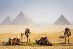 Camels with pyramid Royalty Free Stock Images