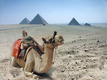 Camels and pyramid in Egypt Stock Photos