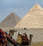 Camels with pyramids Stock Images