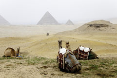 Camels and the pyramids Royalty Free Stock Photo