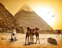 Camels and pyramids Royalty Free Stock Photo