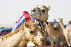 Camels at the races. A popular sport in Doha, Qatar and the rest of the Middle East Stock Photos
