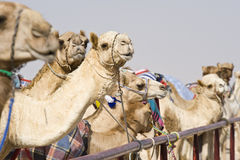 Camels at the races. A popular sport in Doha, Qatar and the rest of the Middle East Royalty Free Stock Image