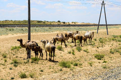 Camels at the railway Royalty Free Stock Image