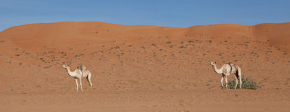 Camels ready for journey. Camels with Desert Sand Dunes in the Middle East Stock Photo