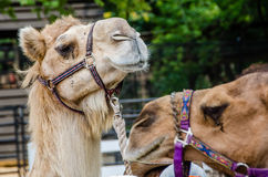 Camels ready to ride Royalty Free Stock Photos