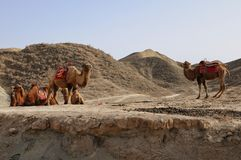 Camels in a red sandstone desert royalty free stock photos