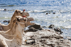 Camels. On the red sea smiling Stock Photos