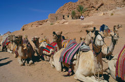 Camels on rest Royalty Free Stock Images