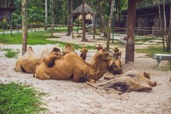 Camels rest on the farm after lunch stock image