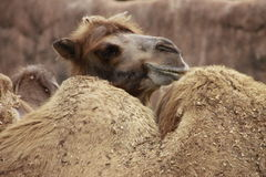 Camels Resting stock image
