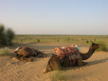 Camels resting Royalty Free Stock Image