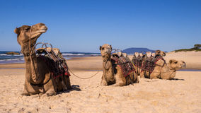 Camels resting on beach in Australia Stock Image