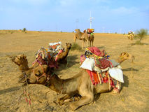 Camels resting during camel safari, Thar desert, India Royalty Free Stock Photography