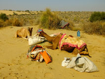 Camels resting during camel safari, Thar desert, India Stock Photography