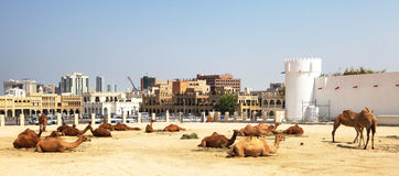 Camels resting in central Doha royalty free stock photo